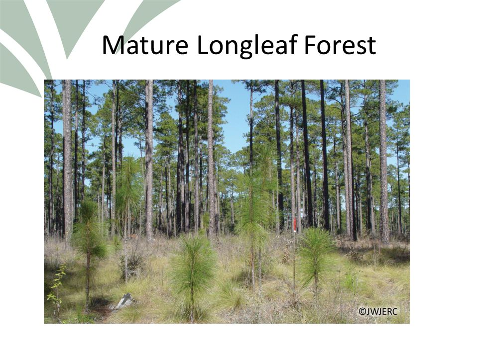 Click to edit Master title style Relevant Facts The southern pines are generally shade intolerant Natural disturbances occur on many scales Southern pines occur naturally in both even- aged and uneven-aged systems