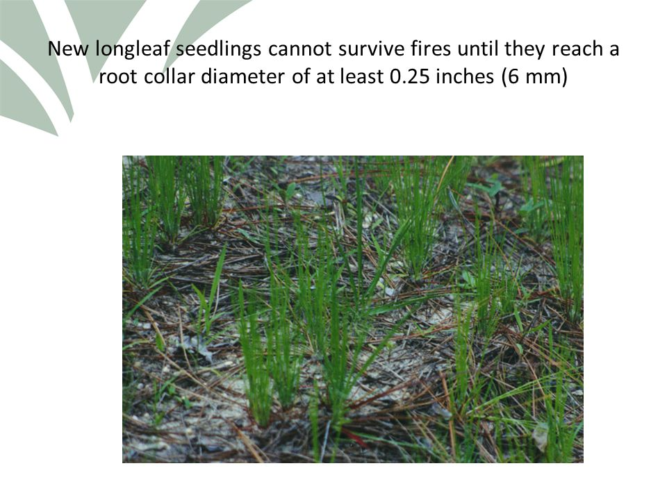Click to edit Master title style New longleaf seedlings cannot survive fires until they reach a root collar diameter of at least 0.25 inches (6 mm)