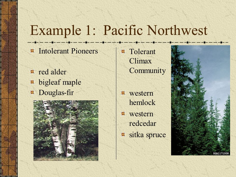 Example 1: Pacific Northwest Intolerant Pioneers red alder bigleaf maple Douglas-fir Tolerant Climax Community western hemlock western redcedar sitka spruce