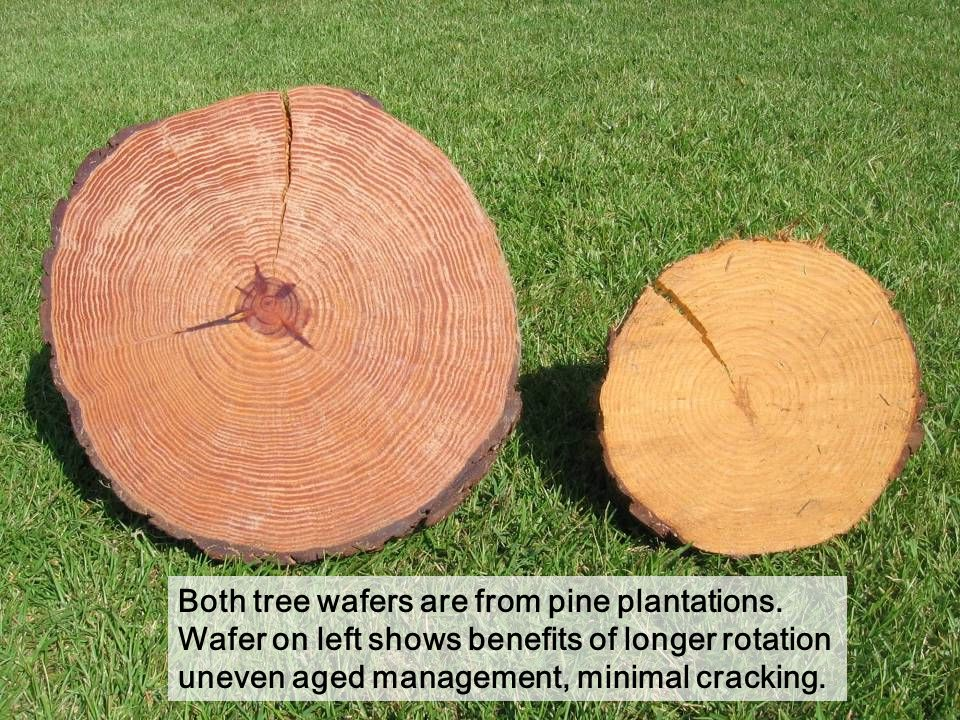 Both tree wafers are from pine plantations.