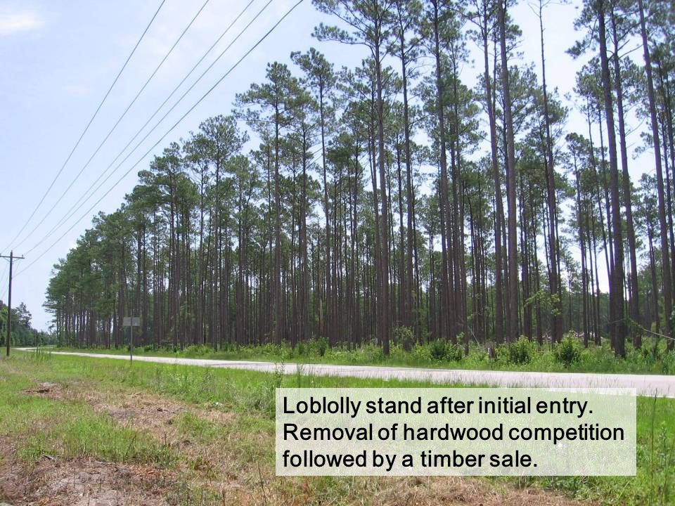 Loblolly stand after initial entry. Removal of hardwood competition followed by a timber sale.