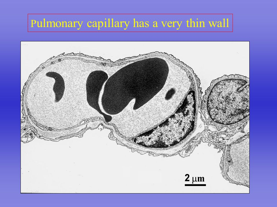 P ulmonary capillary has a very thin wall