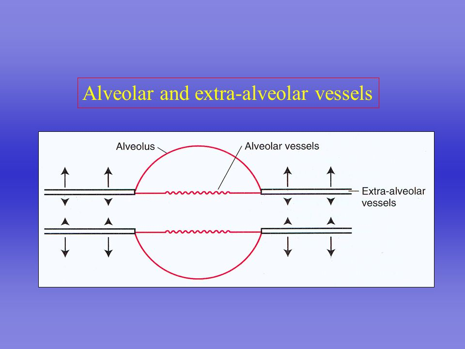 Alveolar and extra-alveolar vessels