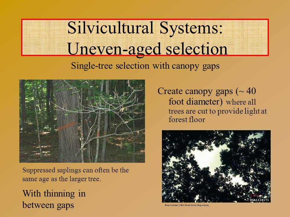 Create canopy gaps (~ 40 foot diameter) where all trees are cut to provide light at forest floor Silvicultural Systems: Uneven-aged selection Brian Lockhart, USDA Forest Service, Bugwood.org With thinning in between gaps Suppressed saplings can often be the same age as the larger tree.