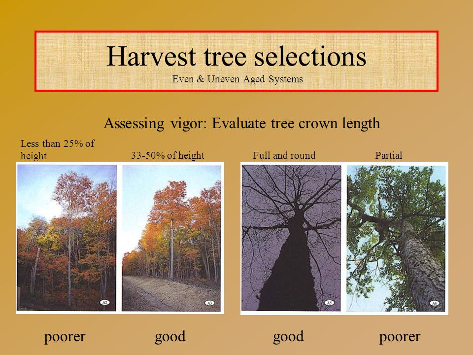 Harvest tree selections Even & Uneven Aged Systems Assessing vigor: Evaluate tree crown length poorergood poorer Less than 25% of height 33-50% of heightFull and roundPartial