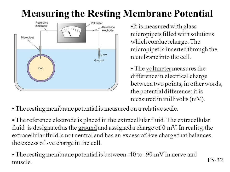 Measuring the Resting Membrane Potential It is measured with glass micropipets filled with solutions which conduct charge. The micropipet is inserted