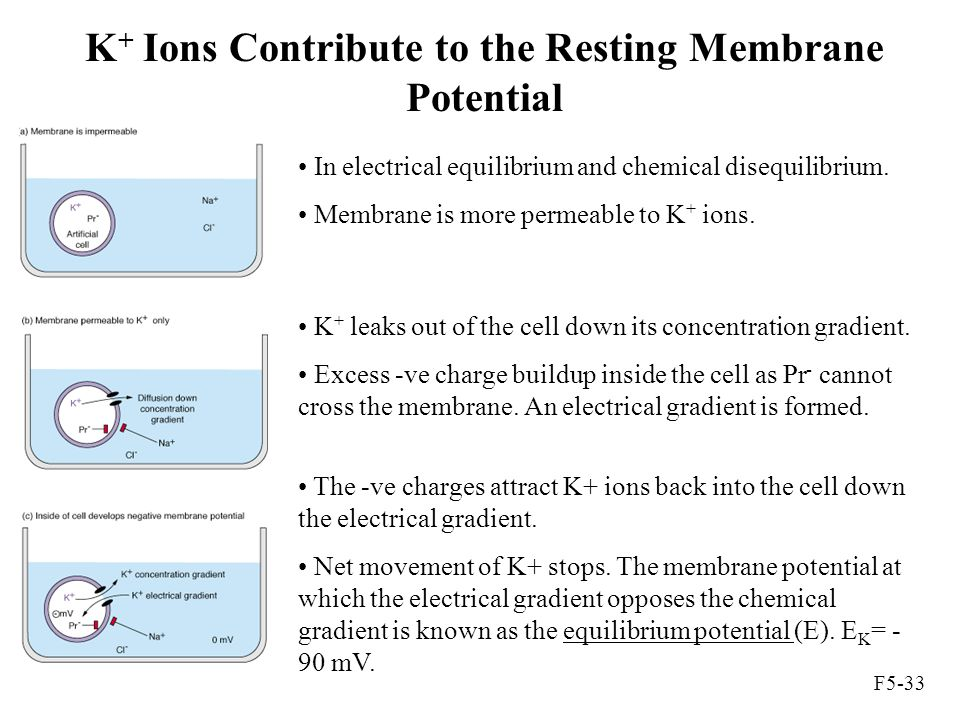 K + Ions Contribute to the Resting Membrane Potential F5-33 In electrical equilibrium and chemical disequilibrium. Membrane is more permeable to K + i