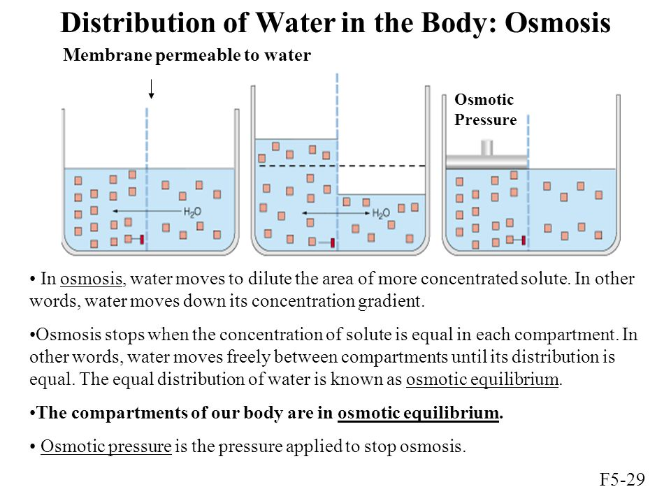 Distribution of Water in the Body: Osmosis F5-29 In osmosis, water moves to dilute the area of more concentrated solute. In other words, water moves d