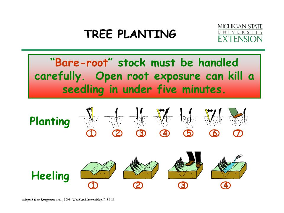TREE PLANTING Bare-root stock must be handled carefully.