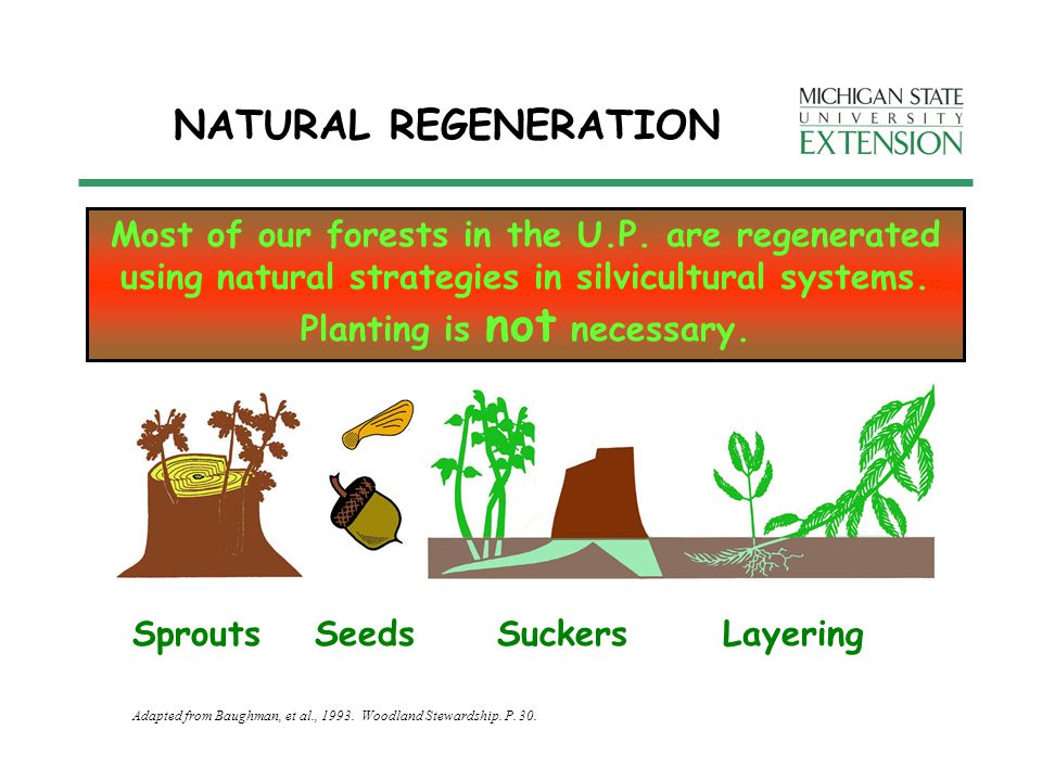 NATURAL REGENERATION SeedsSproutsSuckersLayering Most of our forests in the U.P.