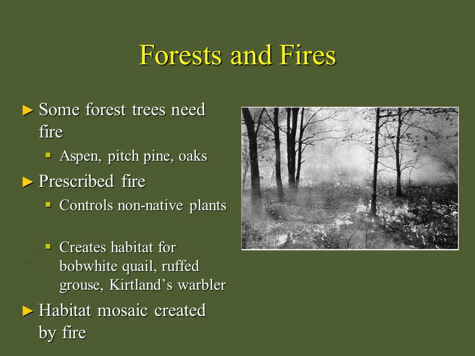 Forests and Fires ► Some forest trees need fire  Aspen, pitch pine, oaks ► Prescribed fire  Controls non-native plants  Creates habitat for bobwhit