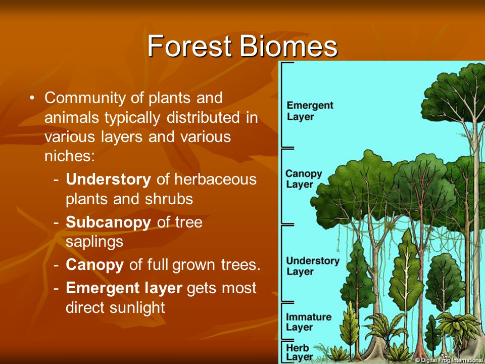 Forest Biomes Community of plants and animals typically distributed in various layers and various niches: - -Understory of herbaceous plants and shrubs - -Subcanopy of tree saplings - -Canopy of full grown trees.