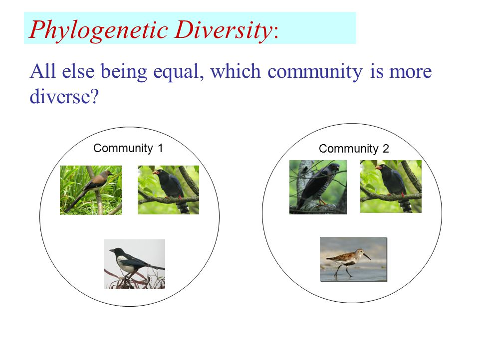 Phylogenetic Diversity : Community 1 Community 2 All else being equal, which community is more diverse?