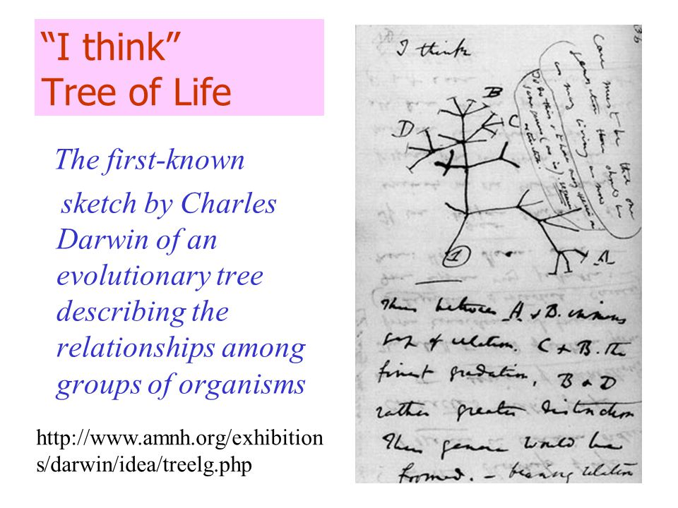 I think Tree of Life The first-known sketch by Charles Darwin of an evolutionary tree describing the relationships among groups of organisms http://www.amnh.org/exhibition s/darwin/idea/treelg.php