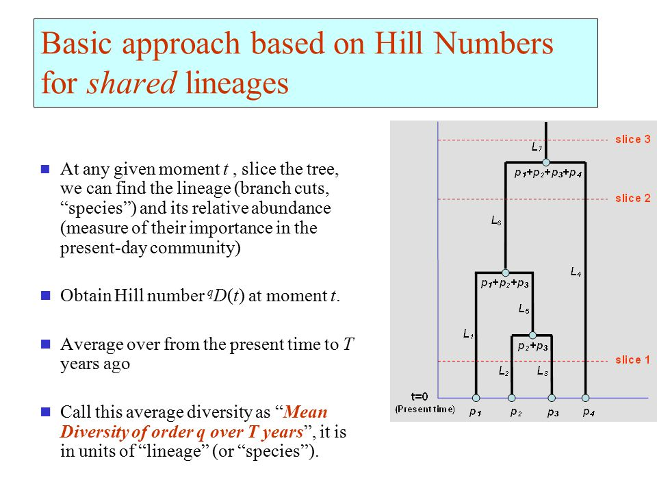 Basic approach based on Hill Numbers for shared lineages At any given moment t, slice the tree, we can find the lineage (branch cuts, species ) and its relative abundance (measure of their importance in the present-day community) Obtain Hill number q D(t) at moment t.