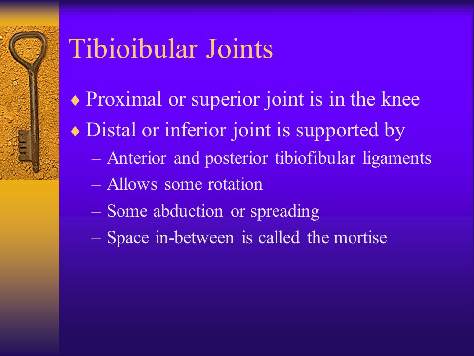 Tibioibular Joints  Proximal or superior joint is in the knee  Distal or inferior joint is supported by –Anterior and posterior tibiofibular ligaments –Allows some rotation –Some abduction or spreading –Space in-between is called the mortise