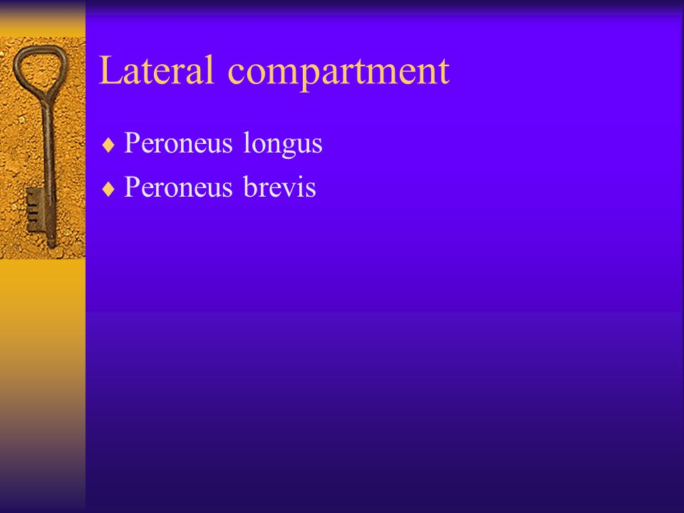 Lateral compartment  Peroneus longus  Peroneus brevis