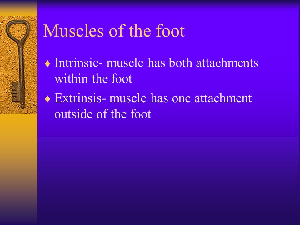 Muscles of the foot  Intrinsic- muscle has both attachments within the foot  Extrinsis- muscle has one attachment outside of the foot