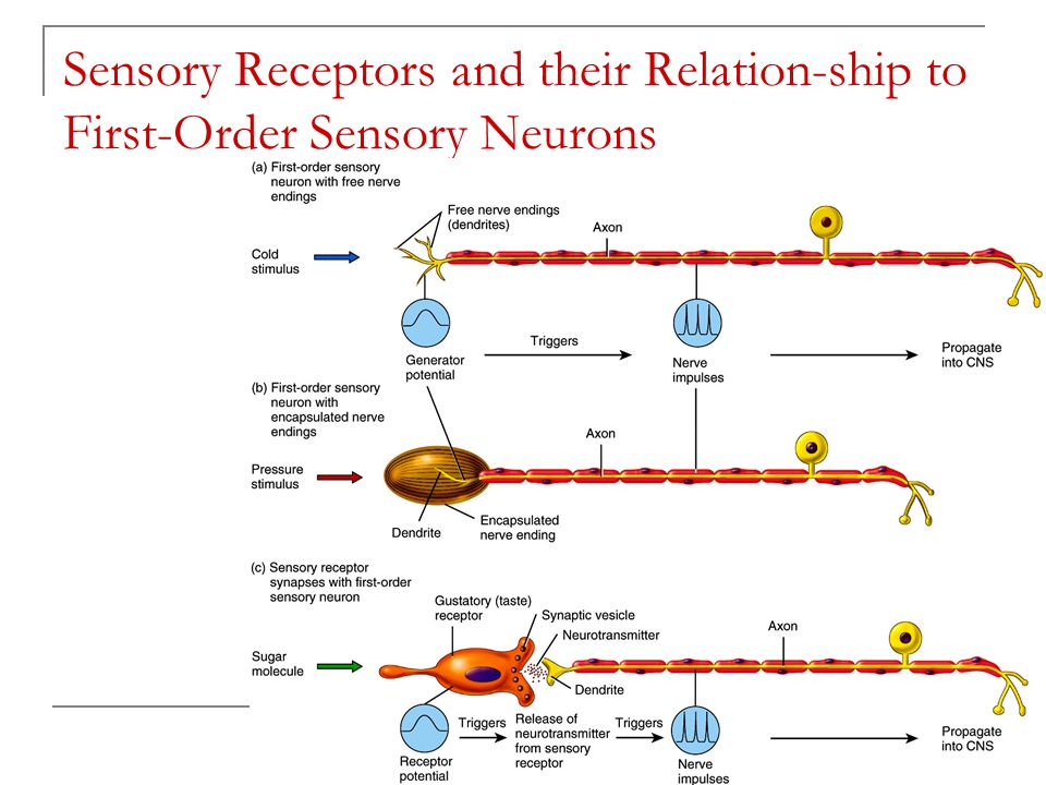 Classification of Sensory Receptors Based on the Location Exteroceptors – external surface (hearing, vision, smell, taste, touch, pressure, vibration, temp, and pain) Interoceptors – visceroceptors Proprioceptors – muscles, tendons, joints, and inner ear (body position, muscle length and tension, position and movement of joints) Copyright 2009, John Wiley & Sons, Inc.