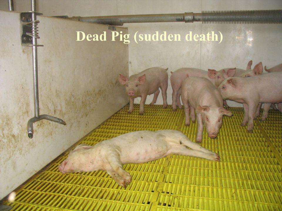 Dead Pig (sudden death)