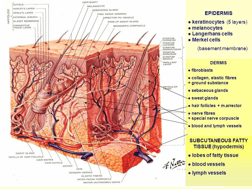 Secondary Lesion ESCHAR ESCHAR (necrosis) (e.g. bedsore, burn…)