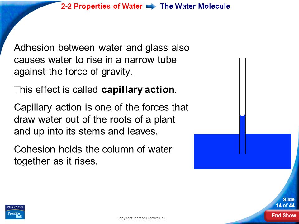 End Show 2-2 Properties of Water Slide 14 of 44 Copyright Pearson Prentice Hall The Water Molecule Adhesion between water and glass also causes water