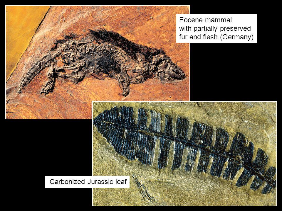 Fossils & Evolution—Chapter 127 Lagerstätten (Solnhofen Limestone, Germany)