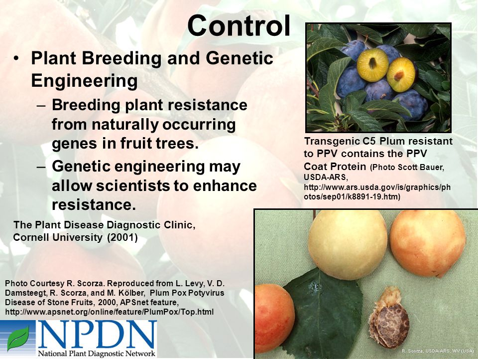 Plant Breeding and Genetic Engineering –Breeding plant resistance from naturally occurring genes in fruit trees.