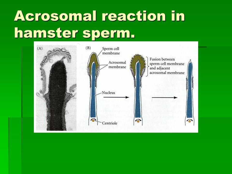 Acrosomal reaction in hamster sperm.