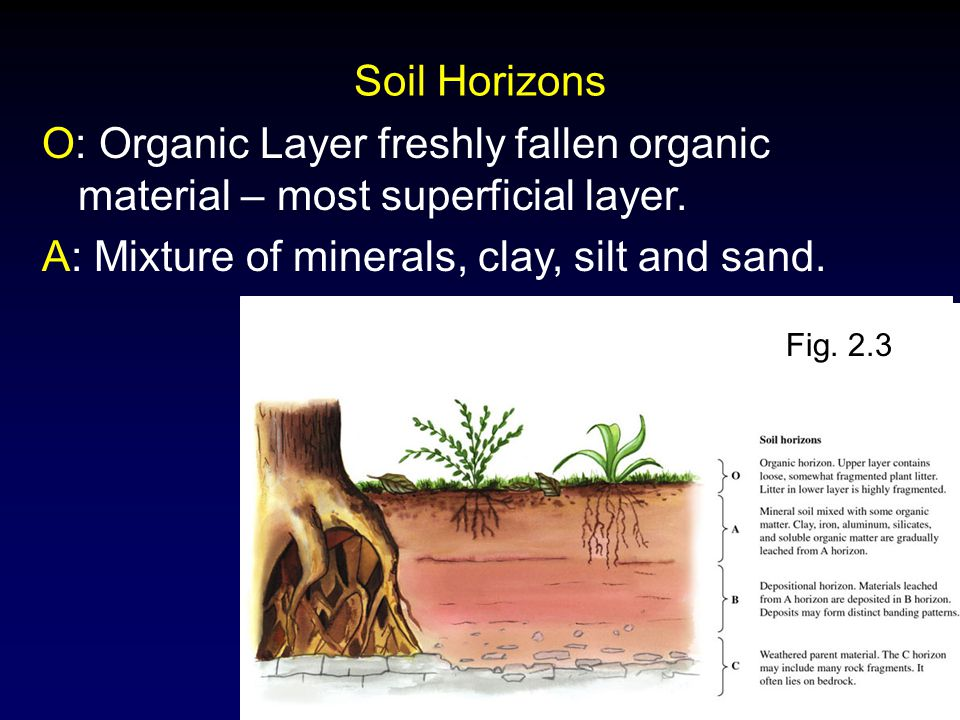 Molles: Ecology 2 nd Ed. Soil Horizons O: Organic Layer freshly fallen organic material – most superficial layer. A: Mixture of minerals, clay, silt a