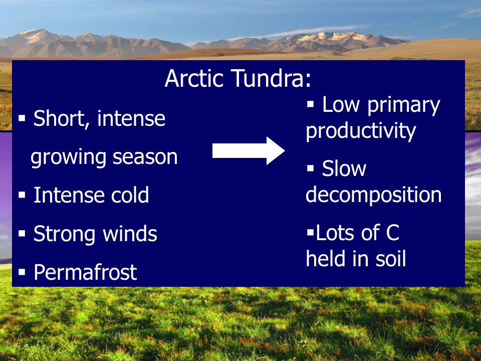 Arctic Tundra:  Short, intense growing season  Intense cold  Strong winds  Permafrost  Low primary productivity  Slow decomposition  Lots of C held in soil