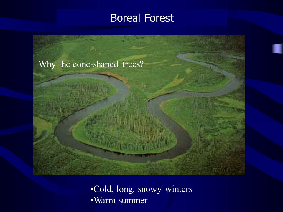 Boreal Forest Cold, long, snowy winters Warm summer Why the cone-shaped trees