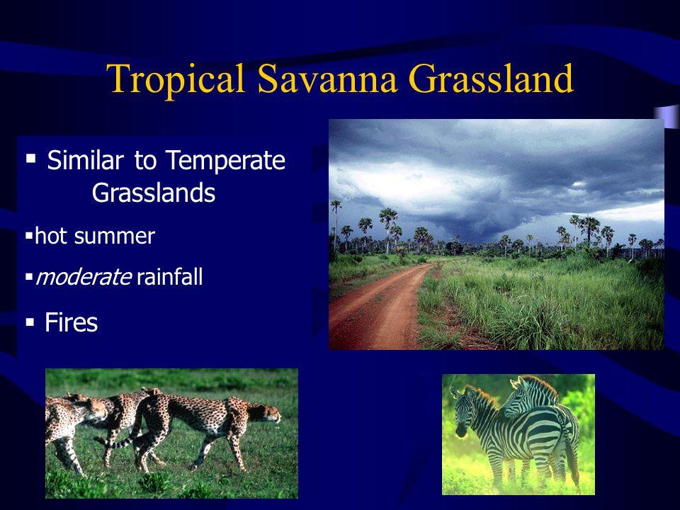 Tropical Savanna Grassland  Similar to Temperate Grasslands  hot summer  moderate rainfall  Fires