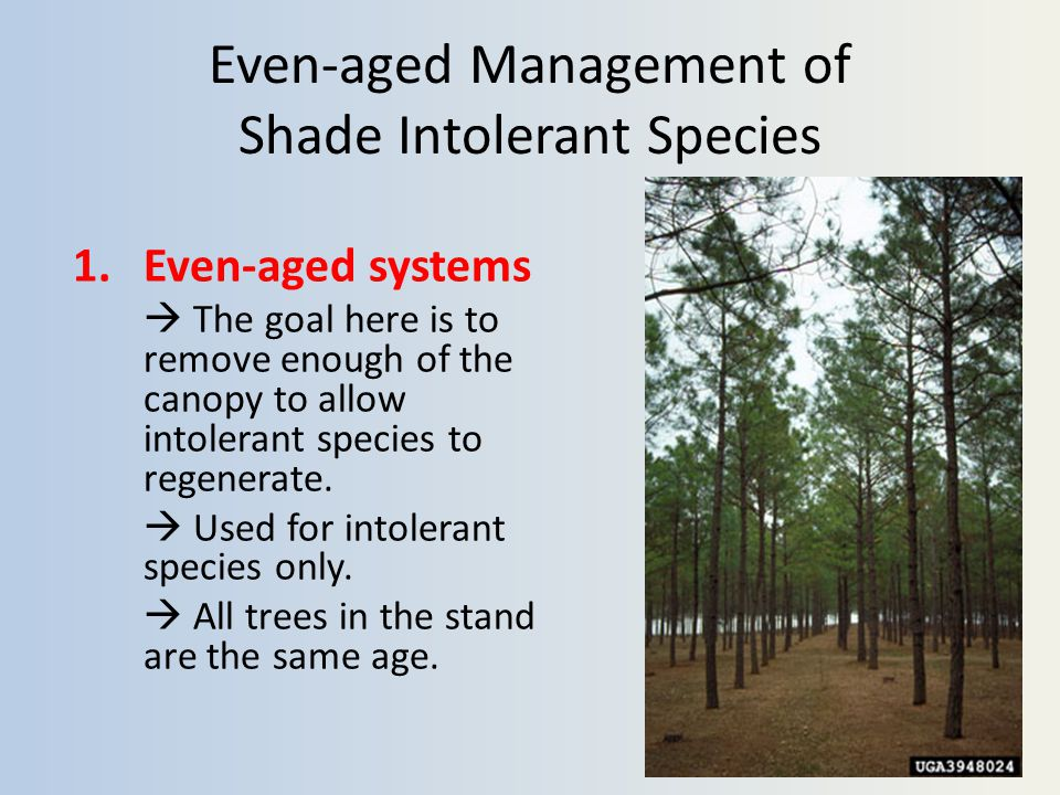 Even-aged Management of Shade Intolerant Species 1.Even-aged systems  The goal here is to remove enough of the canopy to allow intolerant species to regenerate.