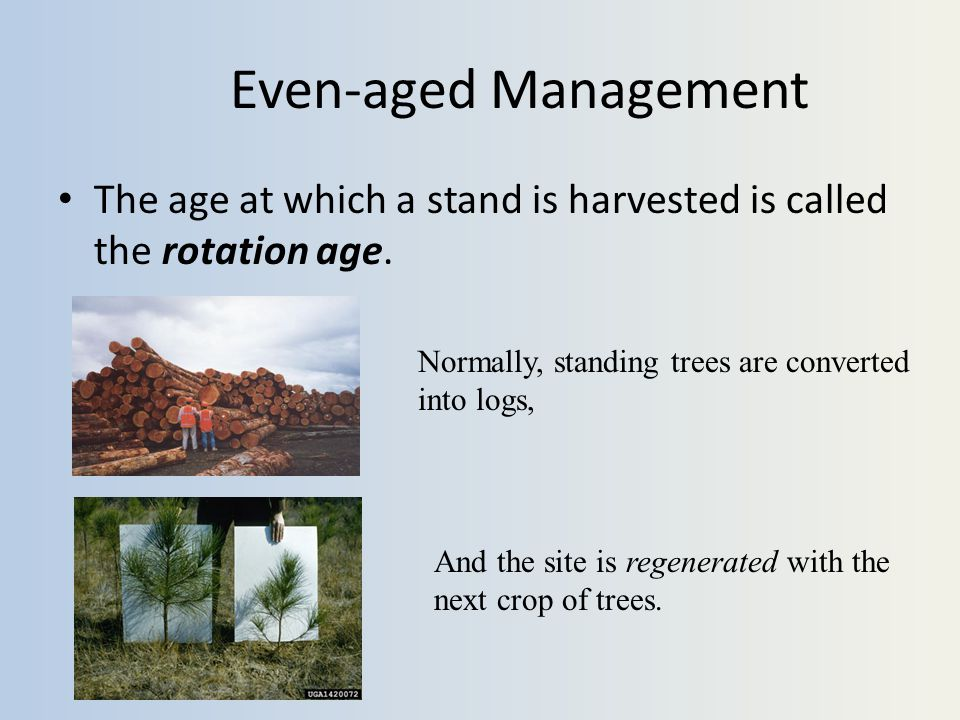 Even-aged Management The age at which a stand is harvested is called the rotation age.