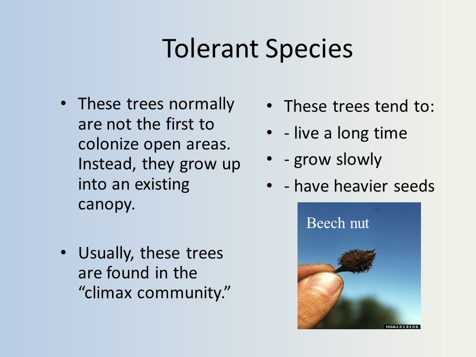 Tolerant Species These trees normally are not the first to colonize open areas.