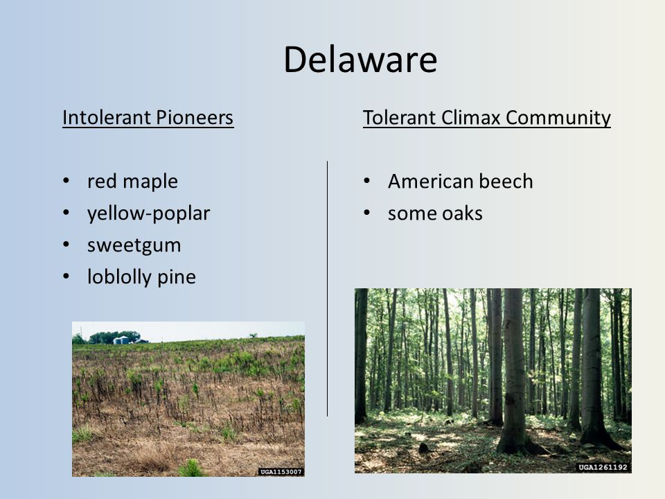 Delaware Intolerant Pioneers red maple yellow-poplar sweetgum loblolly pine Tolerant Climax Community American beech some oaks