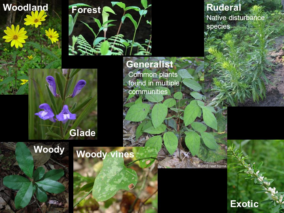 Woodland Glade Forest ExoticGeneralist Woody Ruderal Native disturbance species Common plants found in multiple communities Woody vines