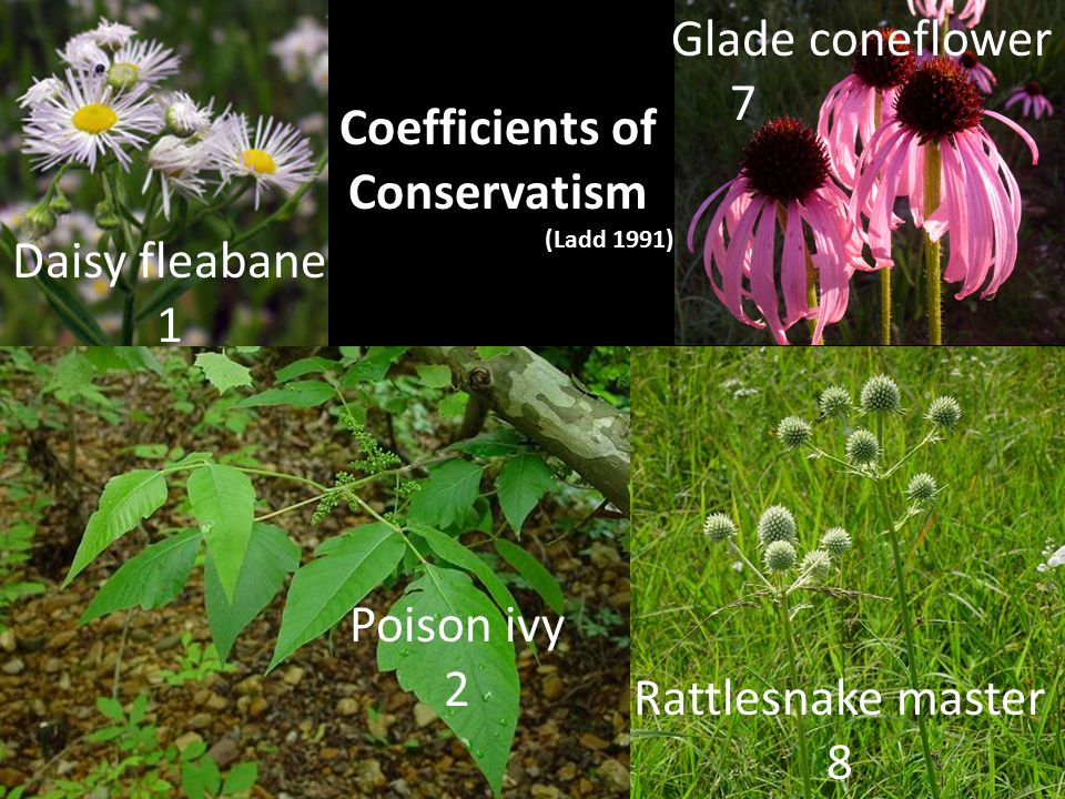 Rattlesnake master 8 Glade coneflower 7 Poison ivy 2 Daisy fleabane 1 Poison ivy 2 Coefficients of Conservatism (Ladd 1991)