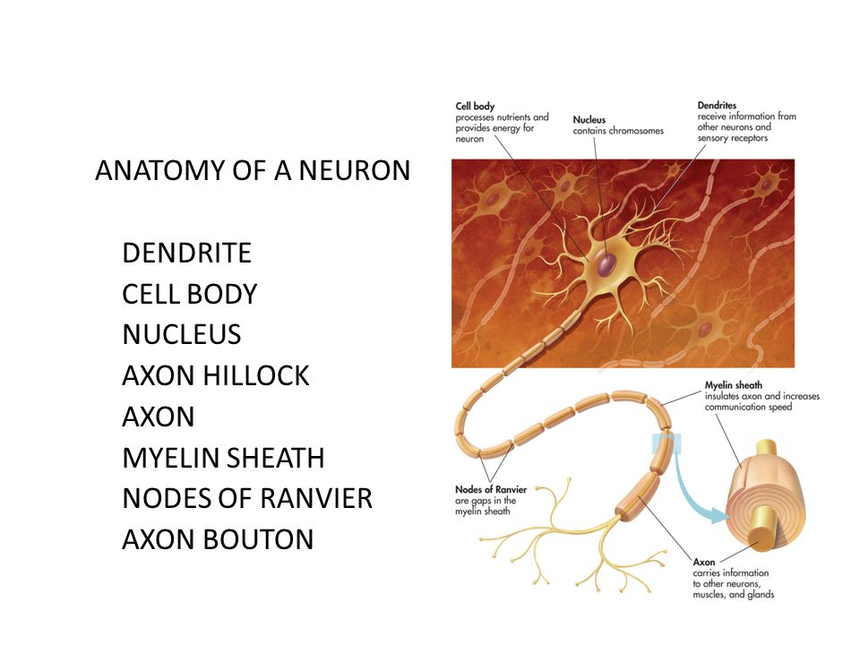ANATOMY OF A NEURON DENDRITE CELL BODY NUCLEUS AXON HILLOCK AXON MYELIN SHEATH NODES OF RANVIER AXON BOUTON