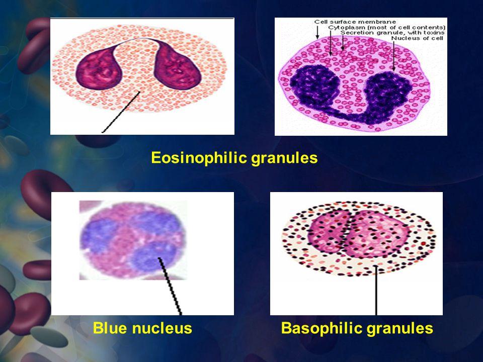 Eosinophilic granules Basophilic granulesBlue nucleus
