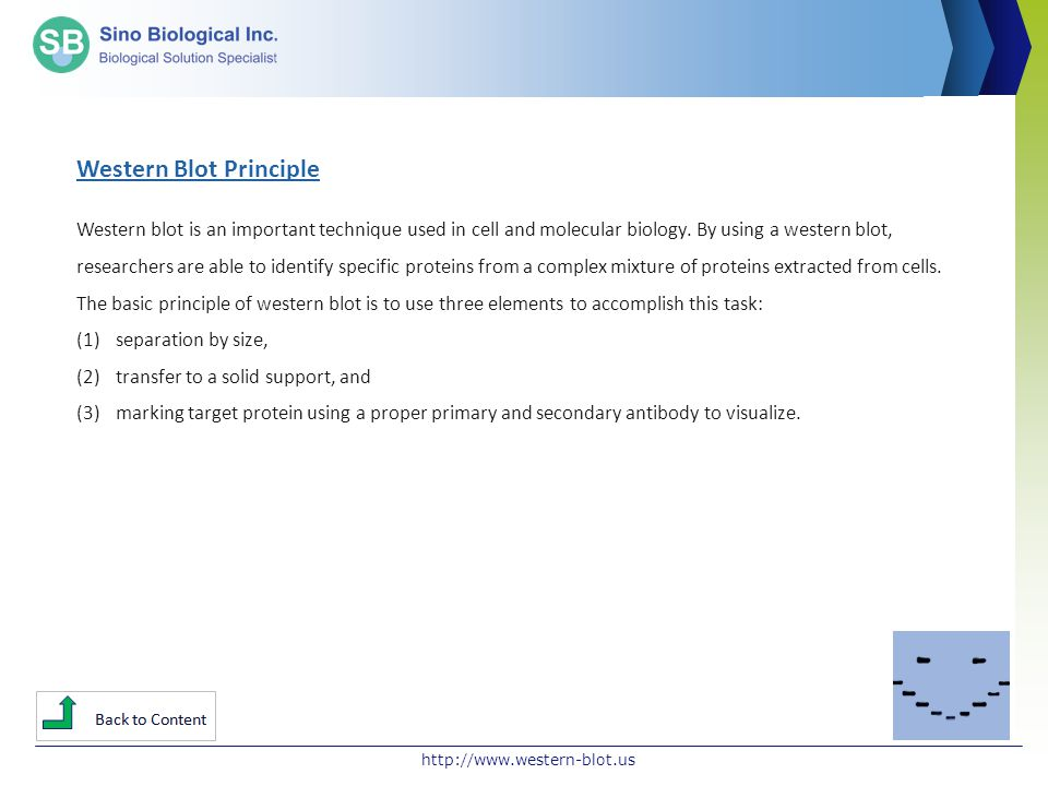 http://www.western-blot.us Western Blot Principle Western blot is an important technique used in cell and molecular biology. By using a western blot,
