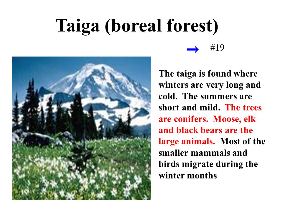 The taiga is found where winters are very long and cold. The summers are short and mild. The trees are conifers. Moose, elk and black bears are the la
