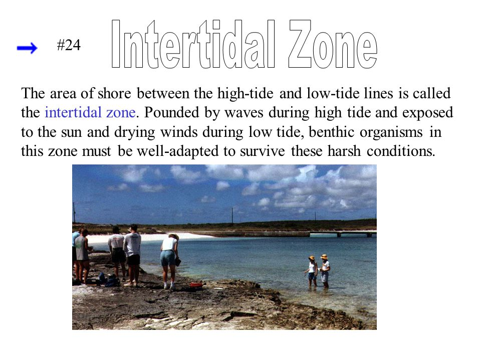 The area of shore between the high-tide and low-tide lines is called the intertidal zone. Pounded by waves during high tide and exposed to the sun and