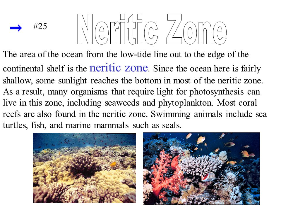 The area of the ocean from the low-tide line out to the edge of the continental shelf is the neritic zone. Since the ocean here is fairly shallow, som