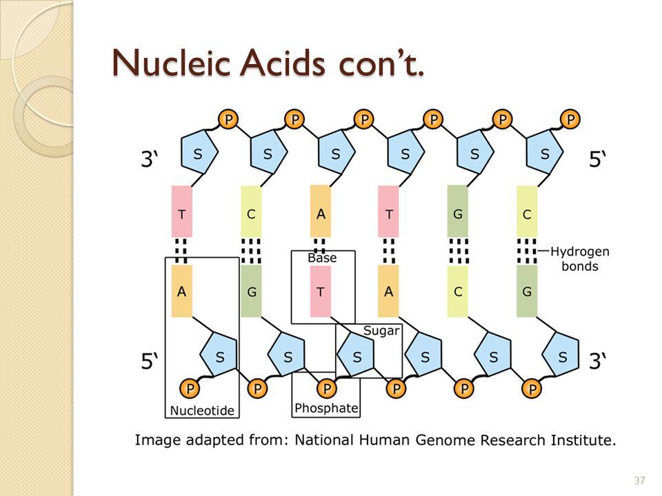 Nucleic Acids con't. 37