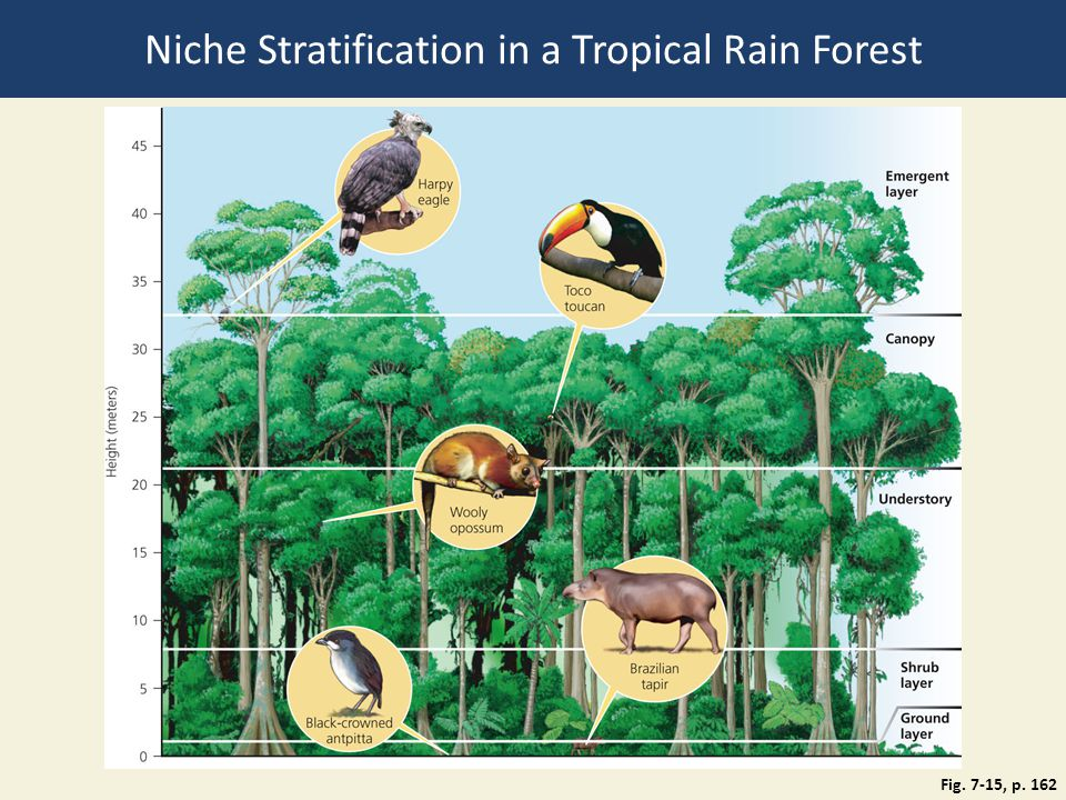 Fig. 7-15, p. 162 Niche Stratification in a Tropical Rain Forest