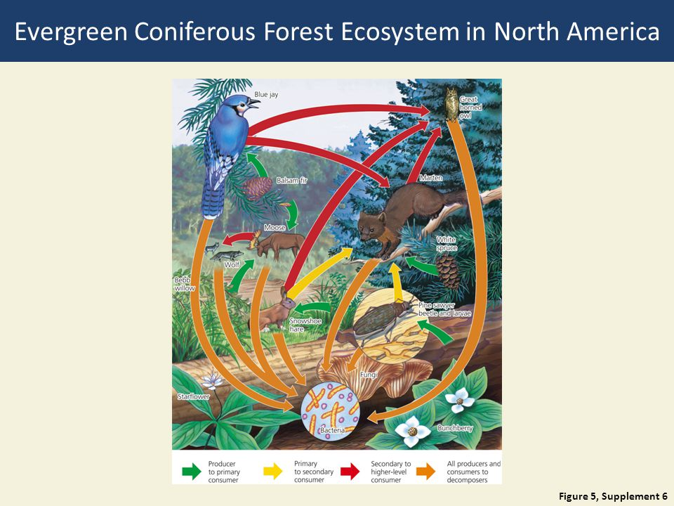 Figure 5, Supplement 6 Evergreen Coniferous Forest Ecosystem in North America