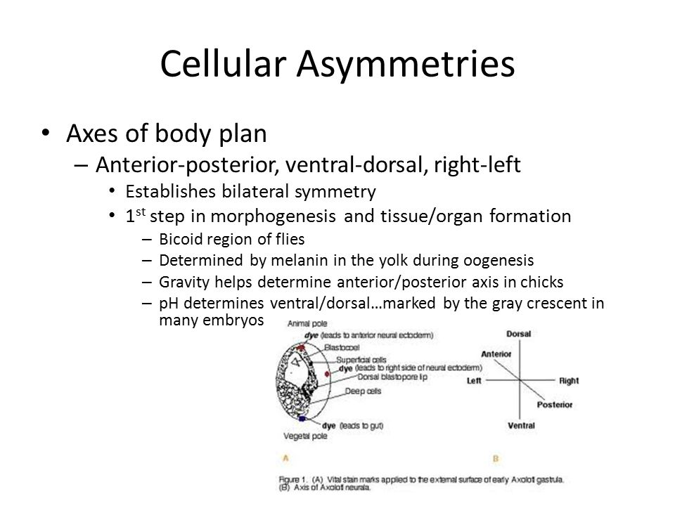 Cellular Asymmetries Axes of body plan – Anterior-posterior, ventral-dorsal, right-left Establishes bilateral symmetry 1 st step in morphogenesis and