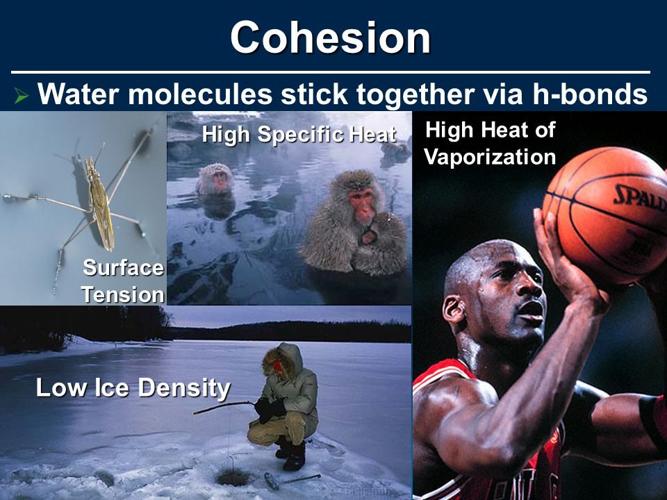   Water molecules stick together via h-bondsCohesionSurfaceTension High Specific Heat Low Ice Density High Heat of Vaporization